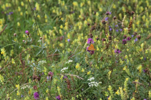 wildflower meadow with swf