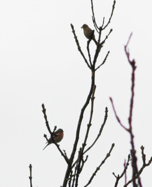 a_chaffinches_1